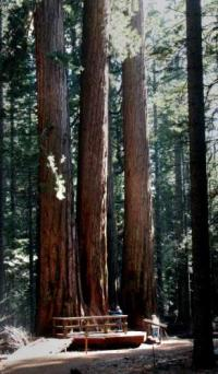 Giant trees tower above visitors to Yosemite National Park Joseph Kreiss - 03-03-2003