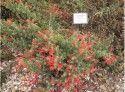 California fuchsia at the Fair Oaks Garden