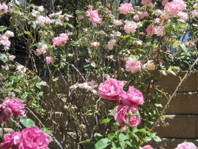 Pruning Roses Mymotherlode Com