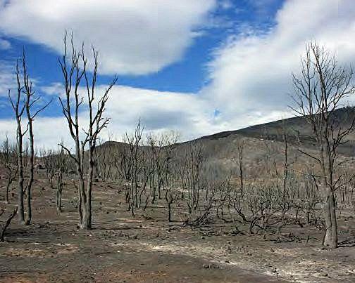 Rim Fire Reforestation: Create A Better Plan | myMotherLode.com