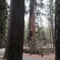 Big Trees State Park Grove image