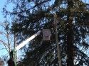 Tree pruning in Sonora's Courthouse Park