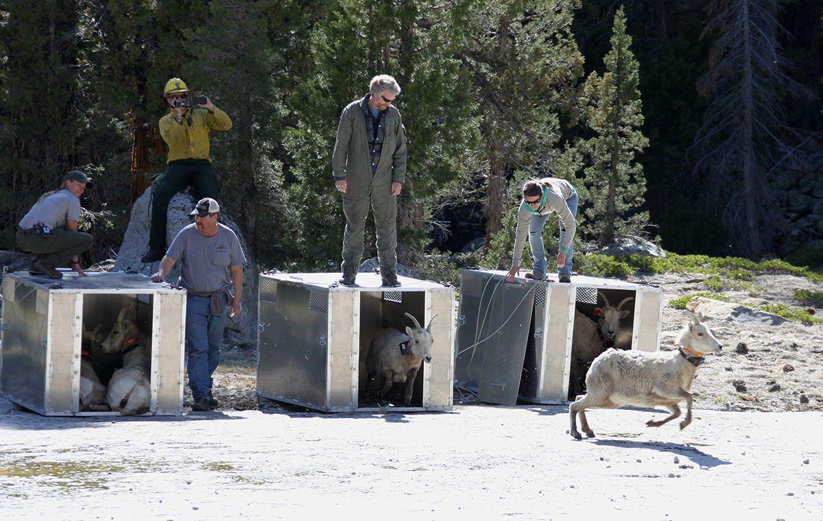 Endangered Bighorn Sheep Released At Yosemite Mymotherlode Com