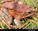 CA Red-legged Frog
