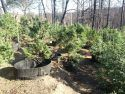 Part of a non-compliant six-acre Mountain Ranch marijuana grow just before eradication.