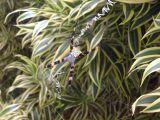 Common Hawaiian Garden Spider 10/17/2016