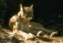 Mountain Lion CDFW Photo