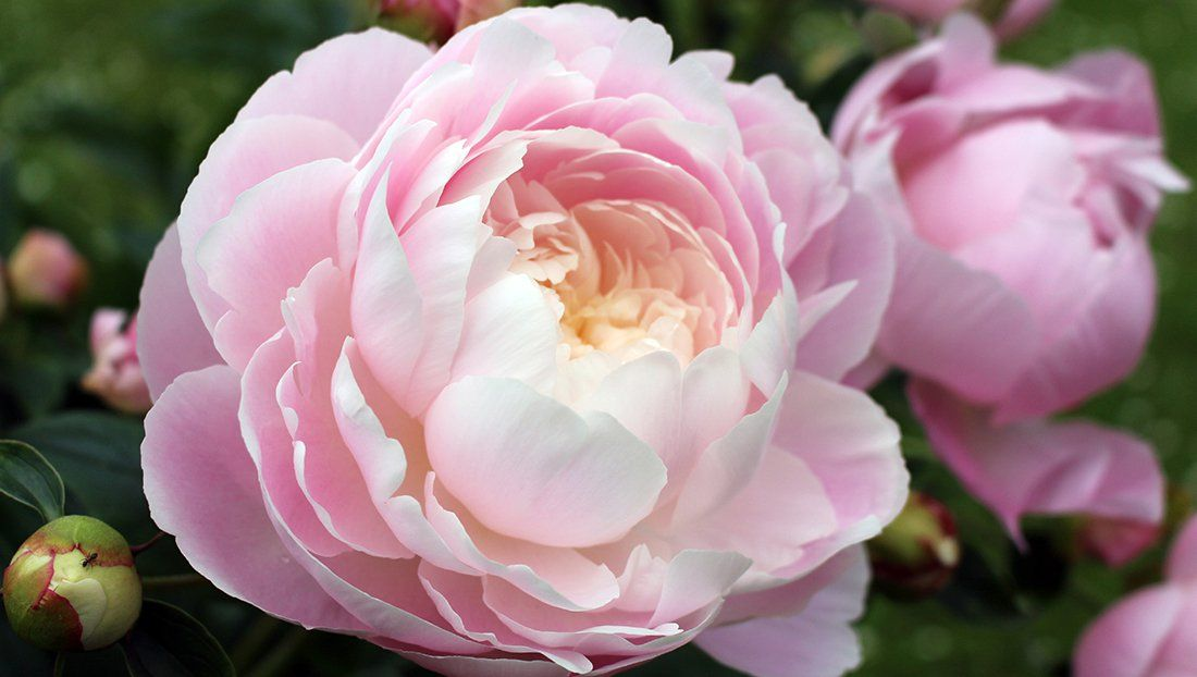 Peony An Old Fashioned Easy Care Beauty Mymotherlode Com