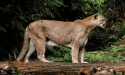 Mountain lion spotted on Dragoon Gulch Trail