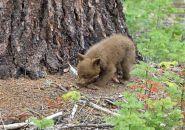 Yosemite bear cub